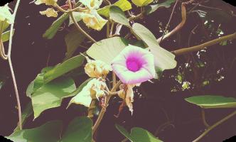 малая гавайская роза